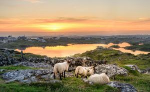 Sheep at sunset in Ireland